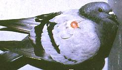 Paratifus kod goluba
