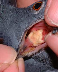 Trihomonijaza kod goluba
